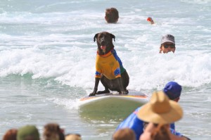 Surf Dog at Noosa Festival