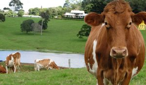 Maleny Dairies – Cold War Isle